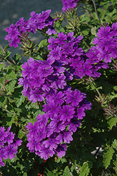 Superbena® Dark Blue Verbena (Verbena 'Superbena Dark Blue') at Pender Pines Garden Center
