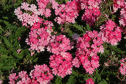 Lanai® Bright Pink Verbena (Verbena 'Lanai Bright Pink') at Pender Pines Garden Center
