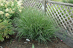 Indian Warrior Bluestem (Andropogon gerardii 'Indian Warrior') at Pender Pines Garden Center