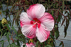 Turn Of The Century Hibiscus (Hibiscus 'Turn Of The Century') at Pender Pines Garden Center