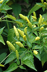 Tabasco Pepper (Capsicum frutescens 'Tabasco') at Pender Pines Garden Center