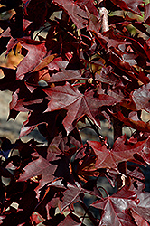Crimson Sunset Maple (Acer 'JFS-KW202') at Pender Pines Garden Center