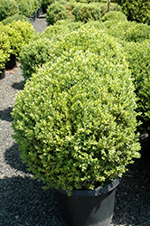 Green Mountain Boxwood (globe form) (Buxus 'Green Mountain (globe)') at Pender Pines Garden Center