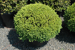 Green Velvet Boxwood (globe form) (Buxus 'Green Velvet (globe)') at Pender Pines Garden Center