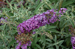 Blue Knight Butterfly Bush (Buddleia 'Blue Knight') at Pender Pines Garden Center