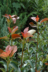 Red Tip Photinia (Photinia x fraseri 'Red Tip') at Pender Pines Garden Center