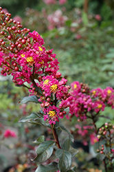 Plum Magic Crapemyrtle (Lagerstroemia 'Plum Magic') at Pender Pines Garden Center