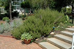 Rosemary (Rosmarinus officinalis) at Pender Pines Garden Center