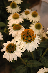 Snow Bomb Coneflower (Echinacea 'Snow Bomb') at Pender Pines Garden Center