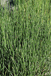Scouring Rush Horsetail (Equisetum hyemale 'var. affine') at Pender Pines Garden Center