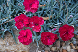 Frosty Fire Pinks (Dianthus 'Frosty Fire') at Pender Pines Garden Center