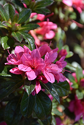 Encore® Autumn Cheer™ Azalea (Rhododendron 'Conlef') at Pender Pines Garden Center