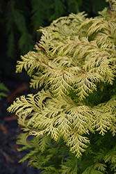 Cripps Gold Falsecypress (Chamaecyparis obtusa 'Crippsii') at Pender Pines Garden Center