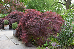 Crimson Queen Japanese Maple (Acer palmatum 'Crimson Queen') at Pender Pines Garden Center
