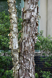 Dura Heat River Birch (Betula nigra 'Dura Heat') at Pender Pines Garden Center
