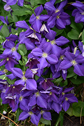 Jackmanii Clematis (Clematis x jackmanii) at Pender Pines Garden Center