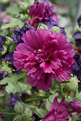 Queeny Purple Hollyhock (Alcea rosea 'Queeny Purple') at Pender Pines Garden Center