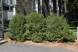 Green Mountain Boxwood (Buxus 'Green Mountain') at Pender Pines Garden Center