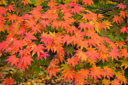 Japanese Maple (Acer palmatum) at Pender Pines Garden Center