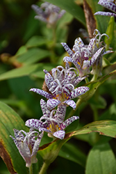 Toad Lily (Tricyrtis hirta) at Pender Pines Garden Center
