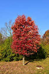Autumn Flame Red Maple (Acer rubrum 'Autumn Flame') at Pender Pines Garden Center