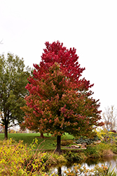 Red Sunset Red Maple (Acer rubrum 'Red Sunset') at Pender Pines Garden Center