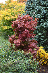 Twombly's Red Sentinel Japanese Maple (Acer palmatum 'Twombly's Red Sentinel') at Pender Pines Garden Center