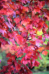 Red Maple (Acer rubrum) at Pender Pines Garden Center