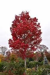 October Glory Red Maple (Acer rubrum 'October Glory') at Pender Pines Garden Center