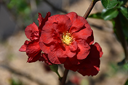 Double Take Scarlet™ Flowering Quince (Chaenomeles speciosa 'Double Take Scarlet Storm') at Pender Pines Garden Center