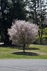 Autumnalis Higan Cherry (Prunus subhirtella 'Autumnalis') at Pender Pines Garden Center
