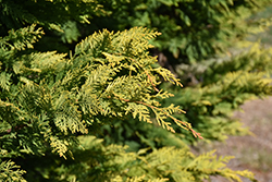 Gold Rider Leyland Cypress (Cupressocyparis x leylandii 'Gold Rider') at Pender Pines Garden Center