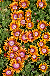 Fire Spinner Ice Plant (Delosperma 'Fire Spinner') at Pender Pines Garden Center