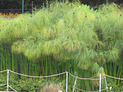 Papyrus (Cyperus papyrus) at Pender Pines Garden Center